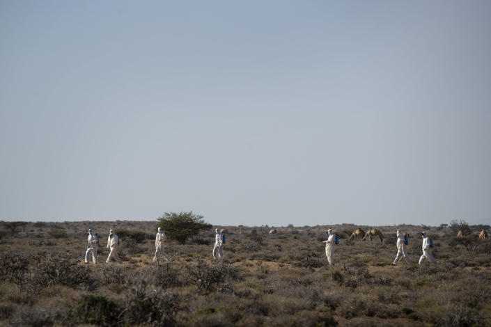 In this photo taken Tuesday, Feb. 4, 2020, Somali pest-control sprayers demonstrate their work on the thorny bushes in the desert that is the breeding ground of desert locusts for a visiting delegation of Somali ministry officials and experts from the Food and Agriculture Organization (FAO), in the desert near Garowe, in the semi-autonomous Puntland region of Somalia. The desert locusts in this arid patch of northern Somalia look less ominous than the billion-member swarms infesting East Africa, but the hopping young locusts are the next wave in the outbreak that threatens more than 10 million people across the region with a severe hunger crisis. (AP Photo/Ben Curtis)