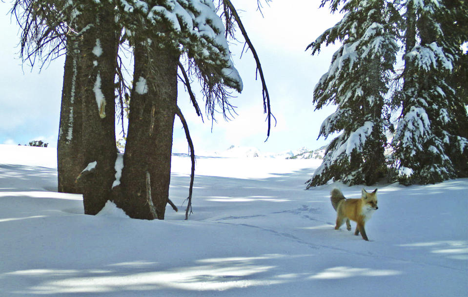 FILE - In this Dec. 13, 2014 file photo provided by the National Park Service from a remote motion-sensitive camera, a Sierra Nevada red fox walks in Yosemite National Park, Calif. An environmental group filed a lawsuit Thursday, April 15, 2021, alleging the federal government has failed to act on petitions to protect nine different species under the Endangered Species Act and failed to designate critical habitat for 11 others. The complaint covers species from Oregon to Delaware and asks the U.S. Fish and Wildlife Service to make decisions on the species after years of delays. (National Park Service via AP, File)