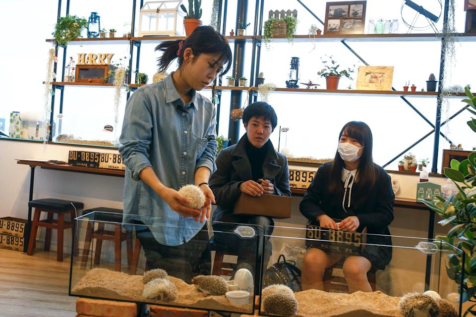 A staff member (L) takes a hedgehog from a glass enclosure at the Harry hedgehog cafe in Tokyo, Japan, April 5, 2016. In a new animal-themed cafe, 20 to 30 hedgehogs of different breeds scrabble and snooze in glass tanks in Tokyo's Roppongi entertainment district. Customers have been queuing to play with the prickly mammals, which have long been sold in Japan as pets. The cafe's name Harry alludes to the Japanese word for hedgehog, harinezumi. REUTERS/Thomas Peter