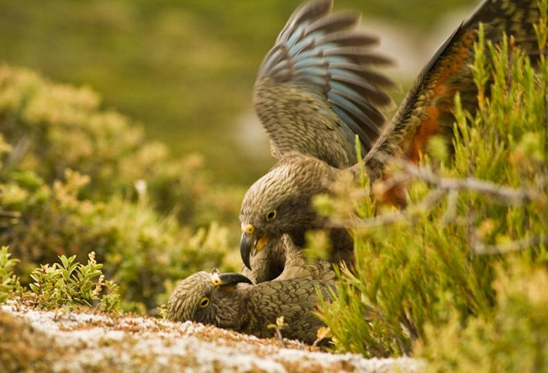 """New Zealand's kea parrots are renowned for being intelligent and mischievous, often called """"the clown of the mountain"""""""