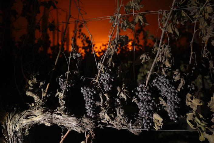 ST. HELENA, CALIFORNIA - SEPTEMBER 27: Grapes hang from a vine at Chateau Boswell Winery burns as the Glass Fire moves through the area on September 27, 2020 in St. Helena, California. The fast moving Glass fire has burned over 1,000 acres and has destroyed homes. Much of Northern California is under a red flag warning for high fire danger through Monday evening. (Photo by Justin Sullivan/Getty Images) ORG XMIT: 775568437 ORIG FILE ID: 1277067790