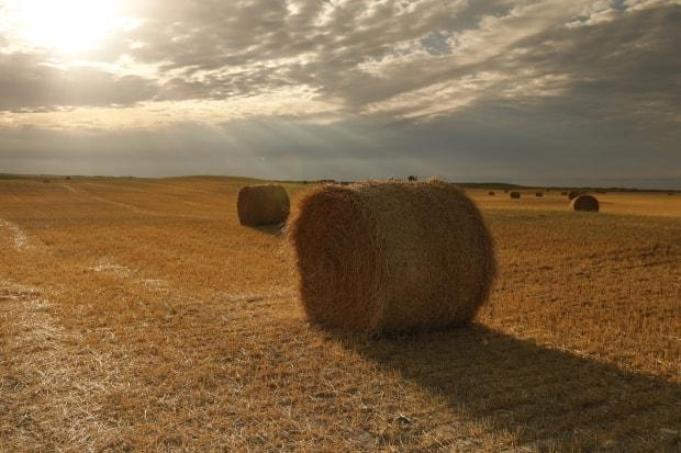 Hot, dry conditions have created havoc for farmers and cattle producers this summer.   (Richard Agecoutay/CBC News - image credit)