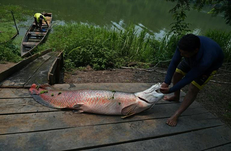 The Arapaima fish can grow up to ten feet tall and weigh almost 200 kilograms, to preserve the species, fishing it is banned from December to March in Brazil