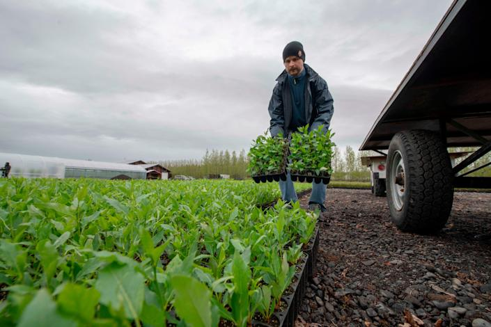 One agricultural worker holds plants in their hands at a greenhouse in Ireland. A trailer is beside the farmer.
