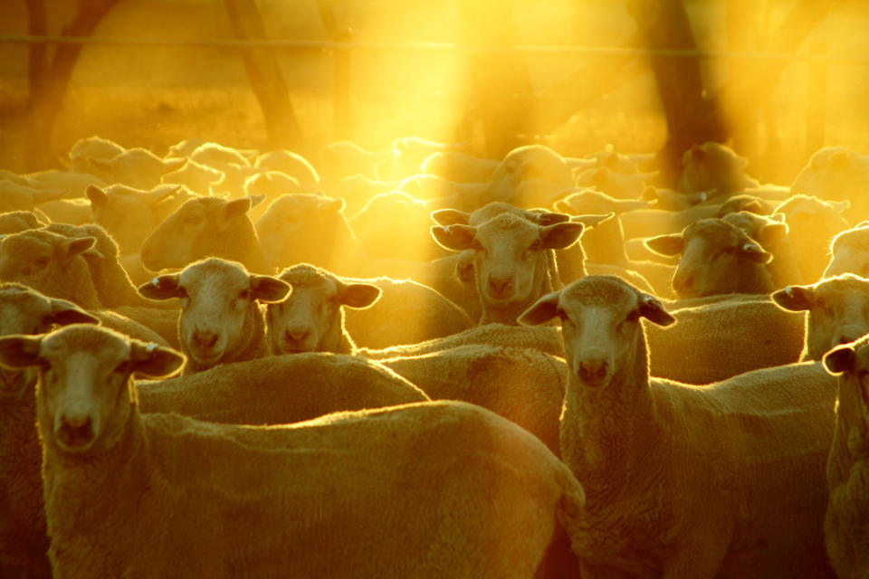 Graziers say that without baiting and other dingo eradication measures, they cannot farm sheep. Source: Getty