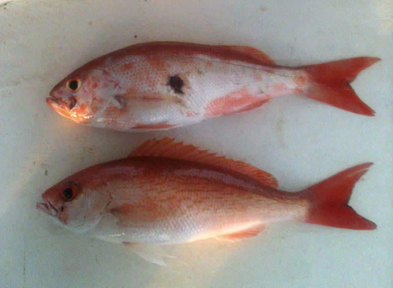 This 2011 photo provided by Donald Waters shows fish harvested from the Gulf of Mexico with unusual lesions and infections. Two years after the Deepwater Horizon rig exploded and sank, touching off the worst offshore spill in U.S. history, the latest research into its effects is starting to back up those early reports from the docks: The ailing fish bear hallmarks of diseases tied to petroleum and other pollutants. (AP Photo/Courtesy Donald Waters)