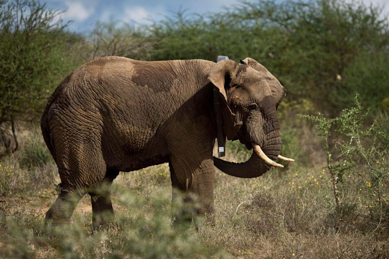 An elephant pictured in African bushland.