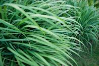 <p>Just to be clear, lemongrass is the name for plants in the Cymbopogon family, which includes citronella (and we all know how good citronella is at repelling mosquitos). There's no need to buy every citronella candle that exists when you have a plant that'll do the job for you. Simply place lemongrass in a sunny dry location and watch it work its bug-repelling magic.</p>