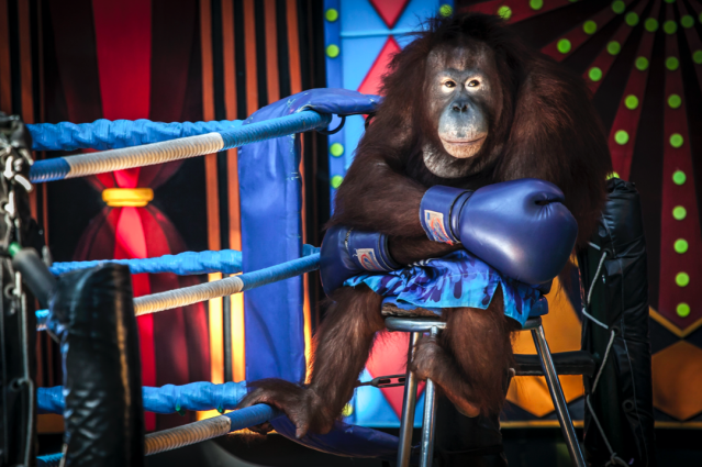 <em>Losing The Fight</em> shows an orangutan dressed in boxing attire at Safari World in Bangkok. (Aaron Gekoski/Wildlife Photographer of the Year)