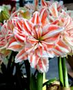 <p>Notice the two-toned leaves on this <span>Jumbo Double Amaryllis Dancing Queen Bulb</span> ($17).</p>
