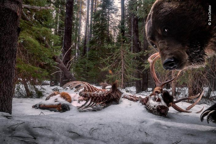 grizzly bear peering at you from the right with elk carcass in the background snow
