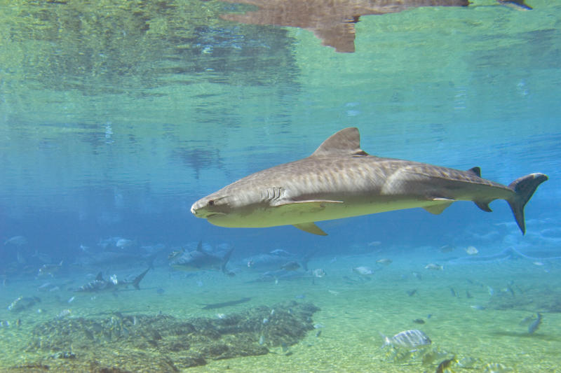 Conservation groups HSI and AMCS believe that tiger sharks should be declared endangered. Source: Getty