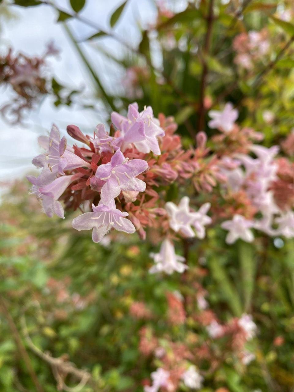 "<p>Abelia have beautiful pink, purple, or peachy-colored bell-shaped flowers that bloom in late spring, spicy-sweet fragrance, colorful fall foliage, and cool seed pods. Plant it where you can enjoy its scent. Abelia likes full sun.</p><p><a class=""link rapid-noclick-resp"" href=""https://www.provenwinners.com/plants/abelia/sunny-anniversary-abelia-x-grandiflora"" rel=""nofollow noopener"" target=""_blank"" data-ylk=""slk:SHOP NOW"">SHOP NOW</a></p>"
