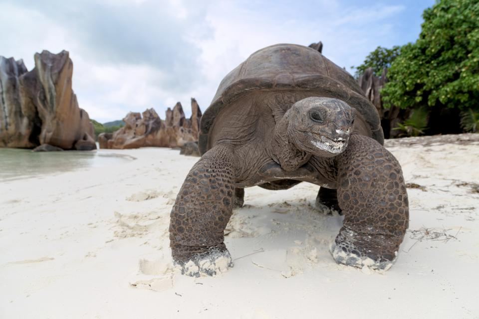 Giant Tortoise Curieuse Island. Photo courtesy - Chris Close.JPG