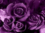 """<p>Purple in a darker hue, like a deep plum or mauve, is often associated with royalty. So if you're partner just binged the last season of <em>The Crown </em>in one weekend, this purple bouquet is for them.</p><p><a class=""""link rapid-noclick-resp"""" href=""""https://go.redirectingat.com?id=74968X1596630&url=https%3A%2F%2Fwww.proflowers.com%2Fproduct%2FMulberry-Margarita--12-Stems-of-Purple-Roses-30262768&sref=https%3A%2F%2Fwww.goodhousekeeping.com%2Fholidays%2Fvalentines-day-ideas%2Fg1352%2Frose-color-meanings%2F"""" rel=""""nofollow noopener"""" target=""""_blank"""" data-ylk=""""slk:SHOP PURPLE FLOWERS"""">SHOP PURPLE FLOWERS</a></p>"""