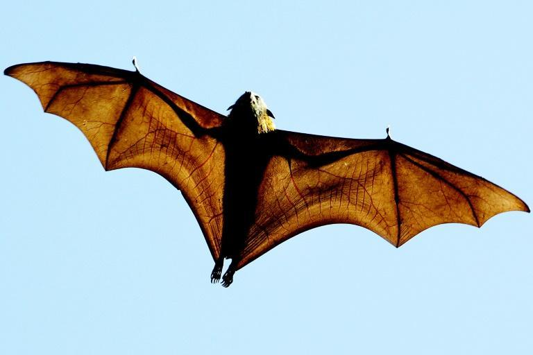 Climate change is increasingly taking its toll -- flying foxes in Australia have been devastated by heatwaves