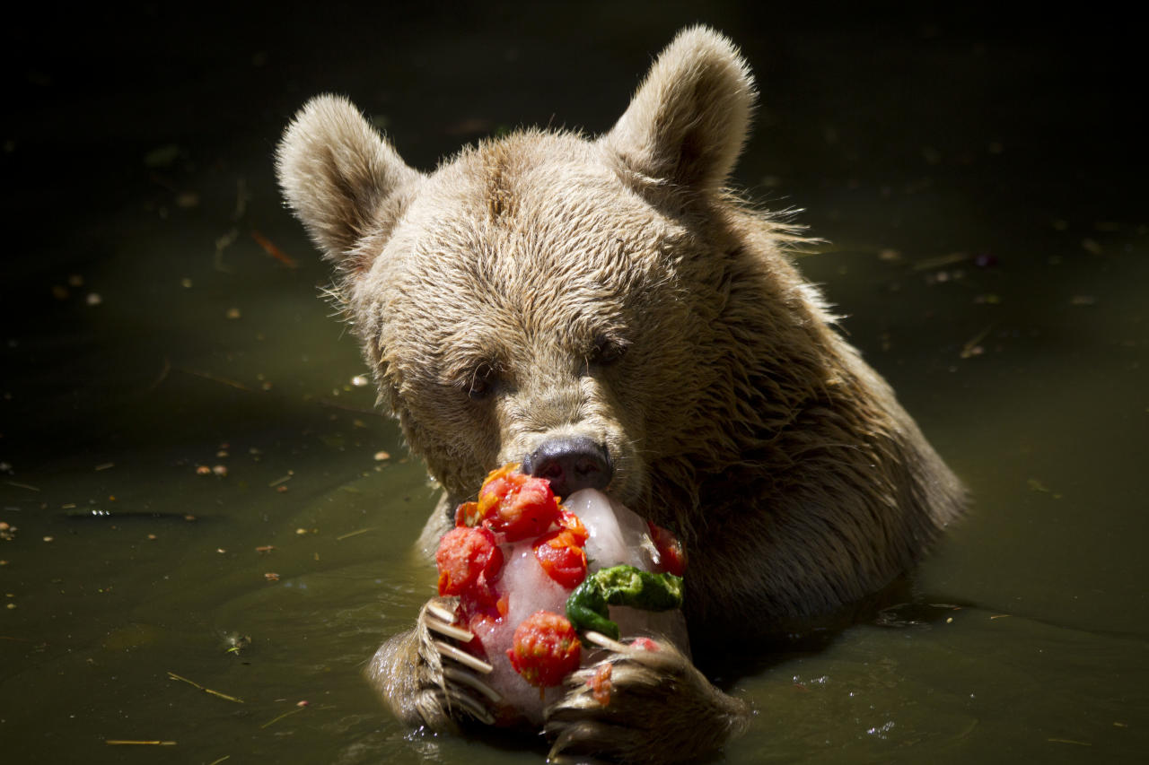 A Syrian brown bear eats an ice block of frozen fruits, vegetables and fish to cool off from the heat at the Ramat Gan Safari near Tel Aviv, Israel, Thursday, July 12, 2012. Temperatures in Tel Aviv reached as high as 34 Celsius (93.2 Fahrenheit). (AP Photo/Ariel Schalit)