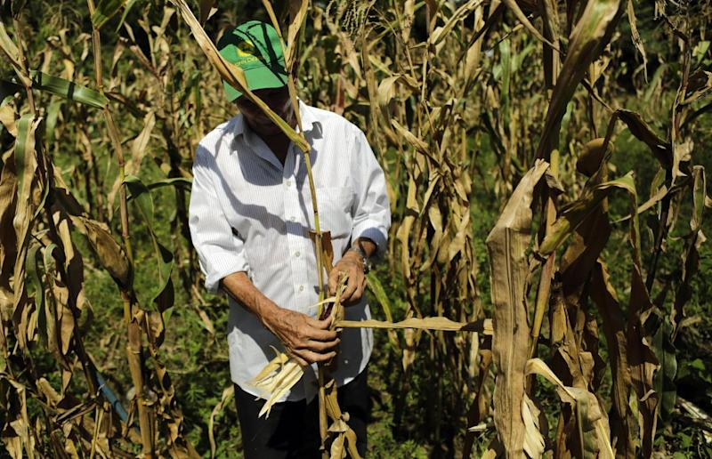 A peasant looks for good corn during harvest of a drought-affected crop in La Tuna community in Madriz, 200 km from Managua, on November 17, 2014 (AFP Photo/Inti Ocon)