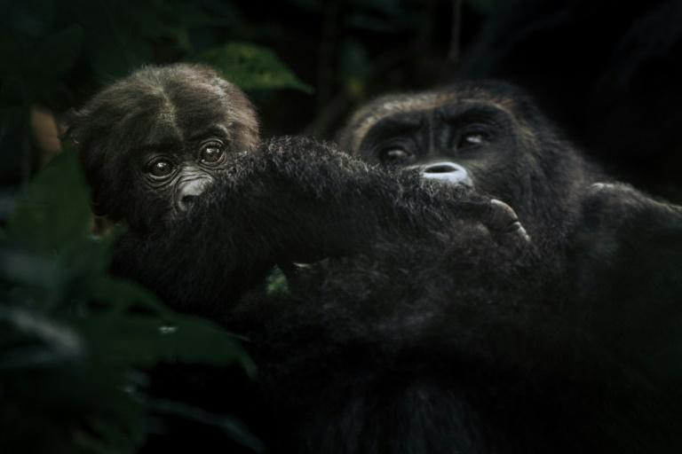 The gorillas have dwindled to just 250 in the park, their last sanctuary (AFP Photo/ALEXIS HUGUET)