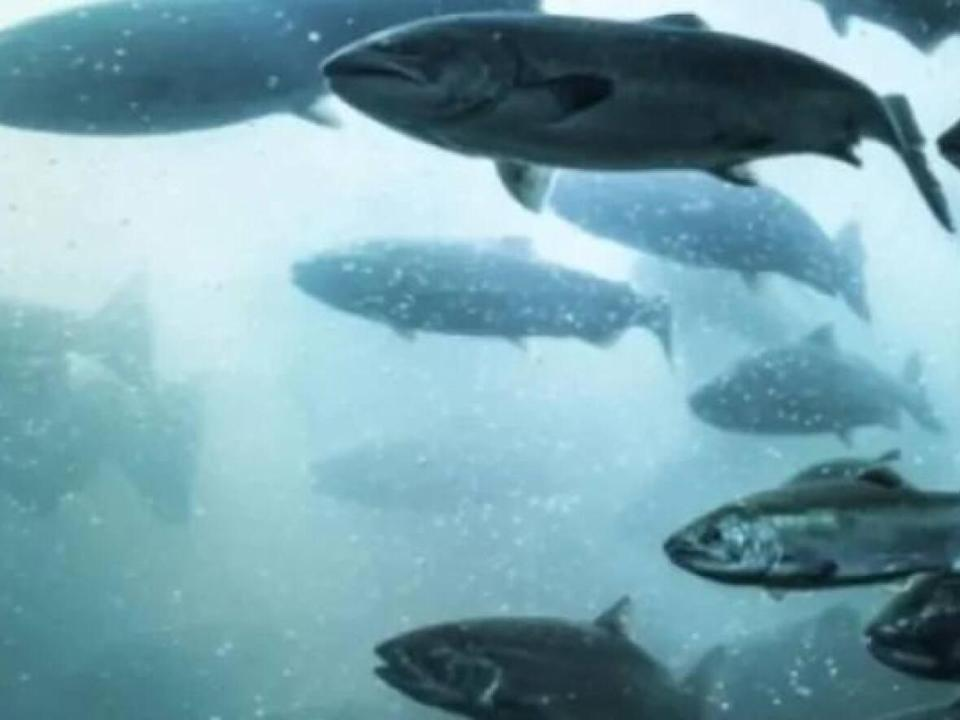 Researchers and community groups recorded more than 100 endangered Atlantic salmon returning to Fundy National Park rivers, the highest number since 1989.  (CBC - image credit)