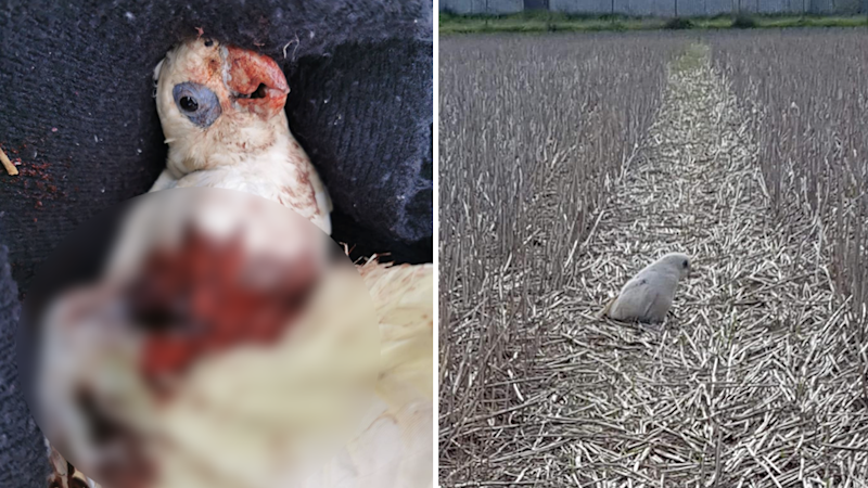 Split screen. A bloody, dying corella partially blurred and a sick corella in a field.