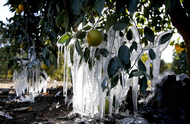 Icicles are formed on orange trees in an orange grove in Redlands, Calif., Tuesday, Jan. 15, 2013. A cold snap that has California farmers struggling to protect a $1.5 billion citrus crop has slowly started to ease, though frigid temperatures were still the norm Tuesday morning throughout the state and across other parts of the West. (AP Photo/Jae C. Hong)