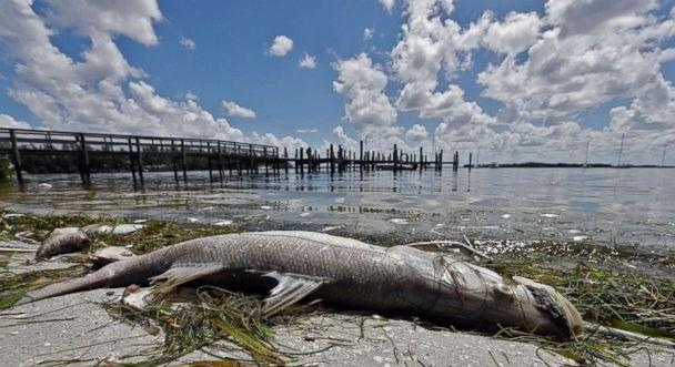 PHOTO: A dead Snook is shown along the water's edge in Bradenton Beach, Fla., Aug. 6, 2018. (Chris O'Meara/AP)