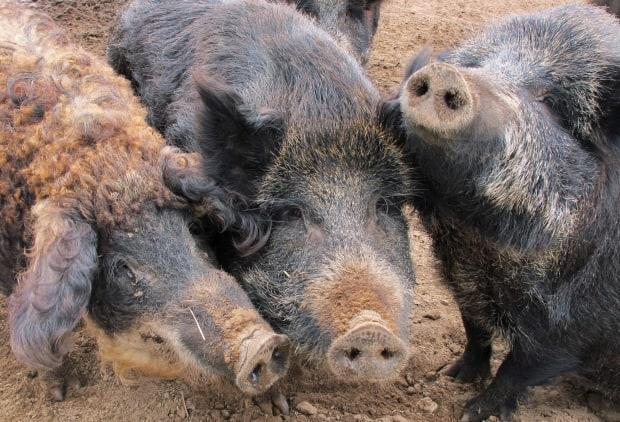 A wild pig is defined as 'any pig that is not contained or under the physical control of any person or is otherwise roaming freely.' It includes Eurasian wild boar, domestic pigs, and hybrids that have escaped or been released from captivity, as well as their offspring. (John Flesher/The Associated Press - image credit)