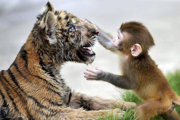 A baby rhesus macaque (Macaca mulatta) touches the face of a tiger cub as they play together at a zoo in Hefei, Anhui province, August 2, 2012. REUTERS/Stringer