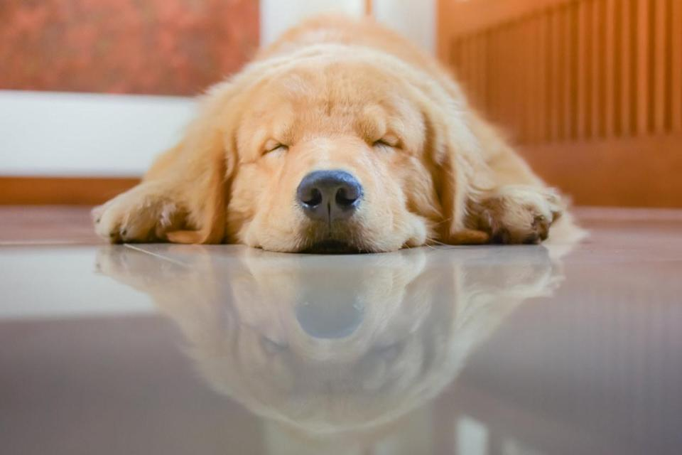 A Golden Retriever dog laying on its stomach sleeping