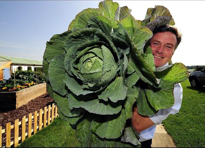 Harrogate Autumn Flower show Director Martin Fish with a giant cabbage, as he introduced a series of new classes for Giant Vegetables to mark the 100th Anniversary of the Show. Giant onions, tomatoes and many others will all compete for the top prize of the biggest vegetable.