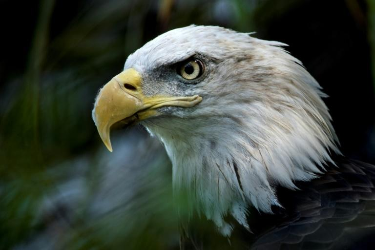 A bald eagle is seen along the American Trail at the Smithsonian National Zoo in Washington, DC (AFP Photo/Brendan Smialowski)