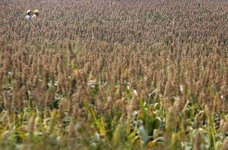China Probes US Sorghum Exports