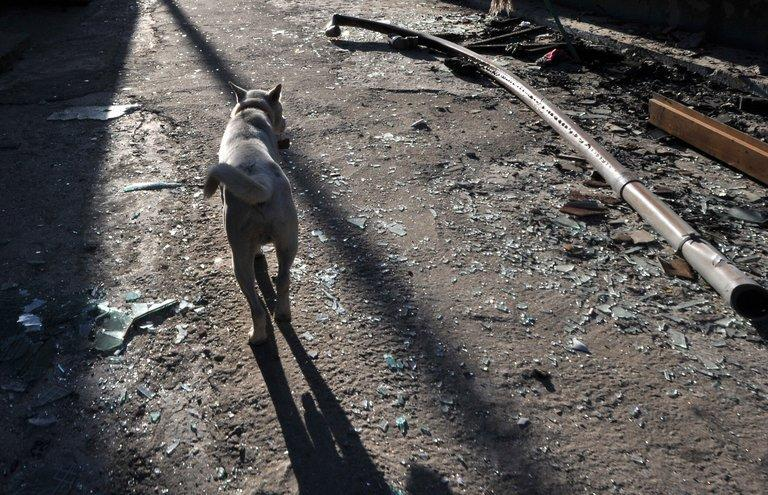 File picture shows a dog walking along a street on South Korea's Yeonpyeong island on November 25, 2010