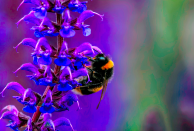 <p>Stuart Walker came in third place with his shot of a bee sitting on lavender. (Pic: Stuart Walker/SWNS) </p>