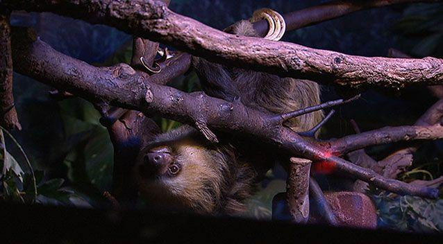 Miss C the sloth hanging out at Adelaide Zoo. Photo: 7News.