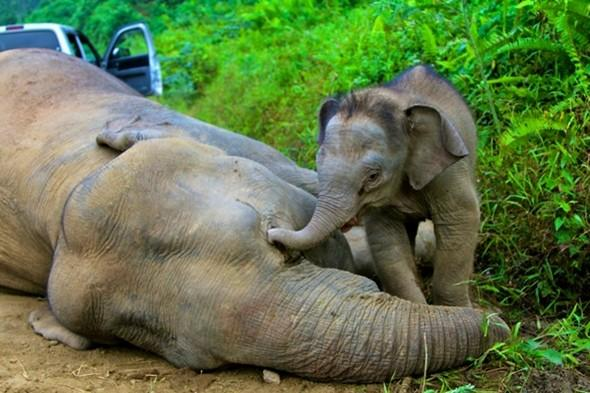 Ten endangered pygmy elephants poisoned in Borneo jungle