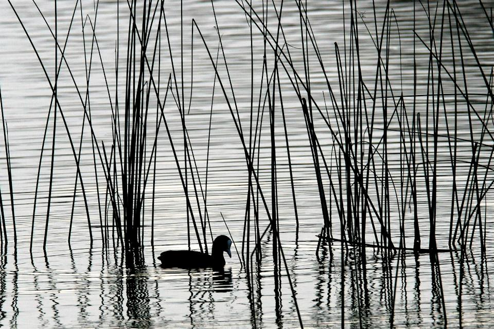 A waterfowl paddles in the Albufera Natural Park near the village of Alcudia on the Spanish Island of Mallorca, October 28, 2005. The Spanish government has named 18 wetland areas in the country as 'high-risk' for the transmission of the bird flu virus due to the concentration of wild fowl in the area. REUTERS/Dani Cardona