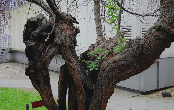 The Bethnal Green Mulberry Tree has become a celebrated landmark for many locals. (SWNS)