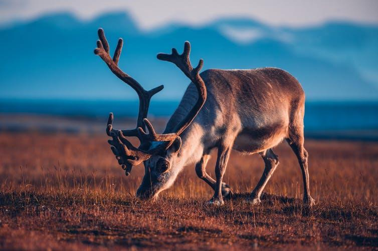 A reindeer noses the grass on an Arctic plain in summer.