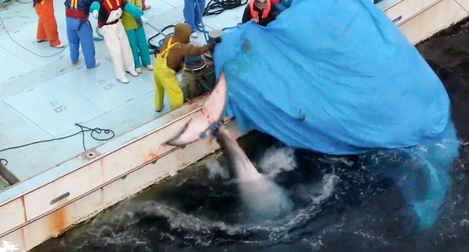 Hope the whale's tale is tied to the side of a boat. There is a blue tarp being pulled over it.
