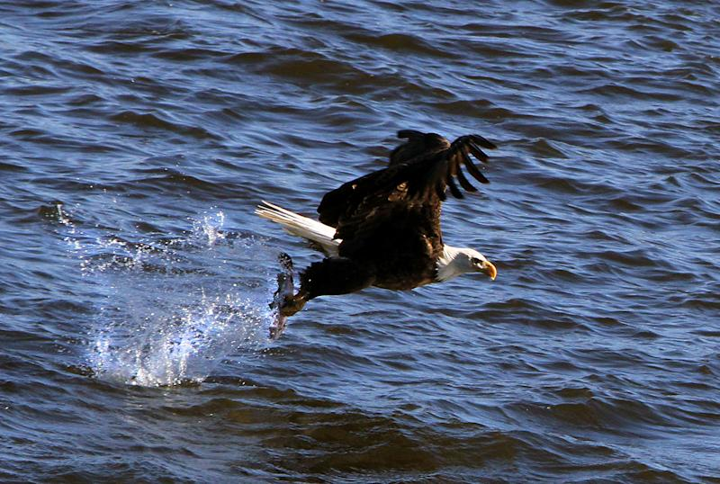 In this Jan. 29, 2014 photo a Bald Eagle picks a fish from the water at Lock and Dam 14 near Le Claire, Iowa. Ken Kester of Clinton, Iowa, uses an oversized homemade slingshot to throw fish out into the Mississippi River. The fish are thrown far enough away for the Eagles to snatch from the water but close enough for the photographers nearby to capture dramatic images. (AP Photo/The Quad City Times, Kevin E. Schmidt)