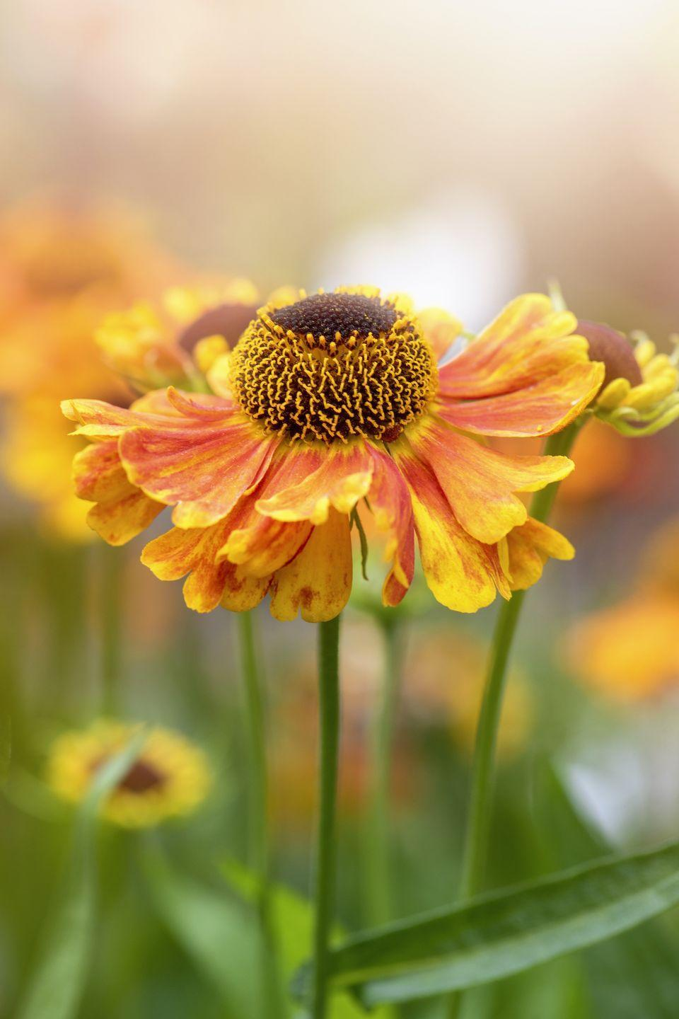 """<p>The beautiful blooms, also known as sneezeweeds, are perfect for adding glorious late-season colour to your landscape. As well as bringing a burst of much-needed joy, they will offer a real haven for bees and butterflies alike. </p><p><a class=""""link rapid-noclick-resp"""" href=""""https://www.waitrosegarden.com/plants/_/helenium-sahins-early-flowerer/classid.2000013972/"""" rel=""""nofollow noopener"""" target=""""_blank"""" data-ylk=""""slk:BUY NOW VIA WAITROSE GARDEN"""">BUY NOW VIA WAITROSE GARDEN</a></p>"""