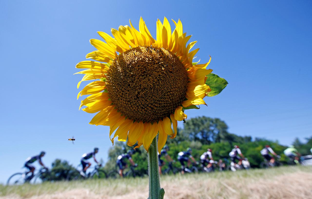 FILE PHOTO -  Cycling - The Tour de France cycling race - The 208.5-km (129.5 miles) Stage 14 from Montelimar to Villars-les-Dombes, Parc des Oiseaux, France - 16/07/2016 -  A bee flies close to a sunflower as the pack of riders cycles during the stage.      REUTERS/Jean-Paul Pelissier/File Photo                     REUTERS PICTURES OF THE YEAR 2016 - SEARCH 'POY 2016' TO FIND ALL IMAGES
