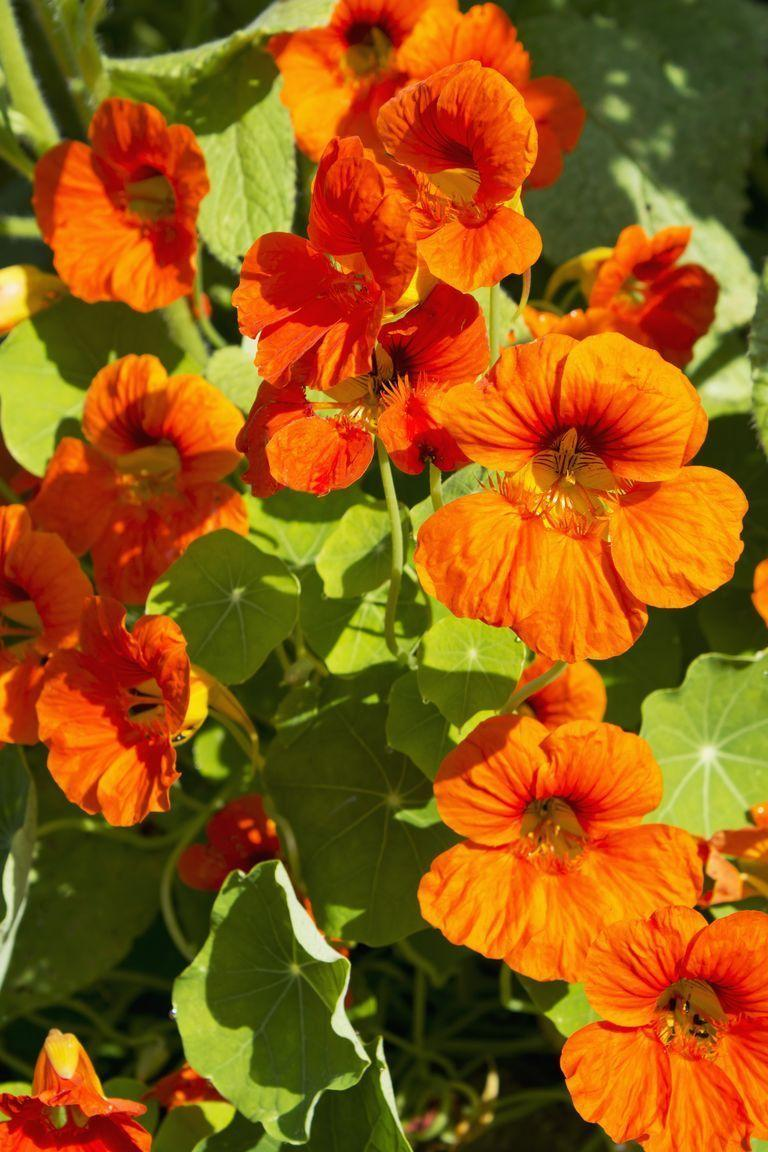 <p>These unusual flowers carry a patriotic meaning, proving that pride can come in many shapes and colors. It can also represent conquest, perhaps because of its assertive celebratory color and leaves that look like shields. </p>