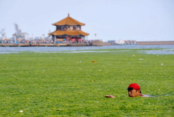 A Chinese man swims along the algae-filled coastline of Qingdao, in eastern China's Shandong province on July 17, 2011. Green algae continues to spread in waters off China's east coastline and although not poisonous, it can hinder the fishing industry and tourism in affected areas.  (Photo: STR/AFP/Getty Images)