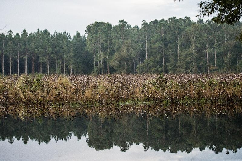 A cotton field shows signs of flooding near the Black River on October 10, 2015 in Andrews, South Carolina (AFP Photo/Sean Rayford)