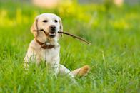 "<p>""Labrador Retrievers are known for their loyalty and sweet, easygoing nature,"" Ellis says, which makes them a great family pet. <a href=""https://dogtime.com/dog-breeds/labrador-retriever"" rel=""nofollow noopener"" target=""_blank"" data-ylk=""slk:They do have a lot of energy"" class=""link rapid-noclick-resp"">They do have a lot of energy</a>, though, so make sure you have plenty of time to schedule in play with them.</p>"