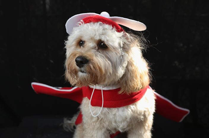 Paddington, a Cavapoo, poses as an airplane at the Tompkins Square Halloween Dog Parade. (Photo by John Moore/Getty Images)