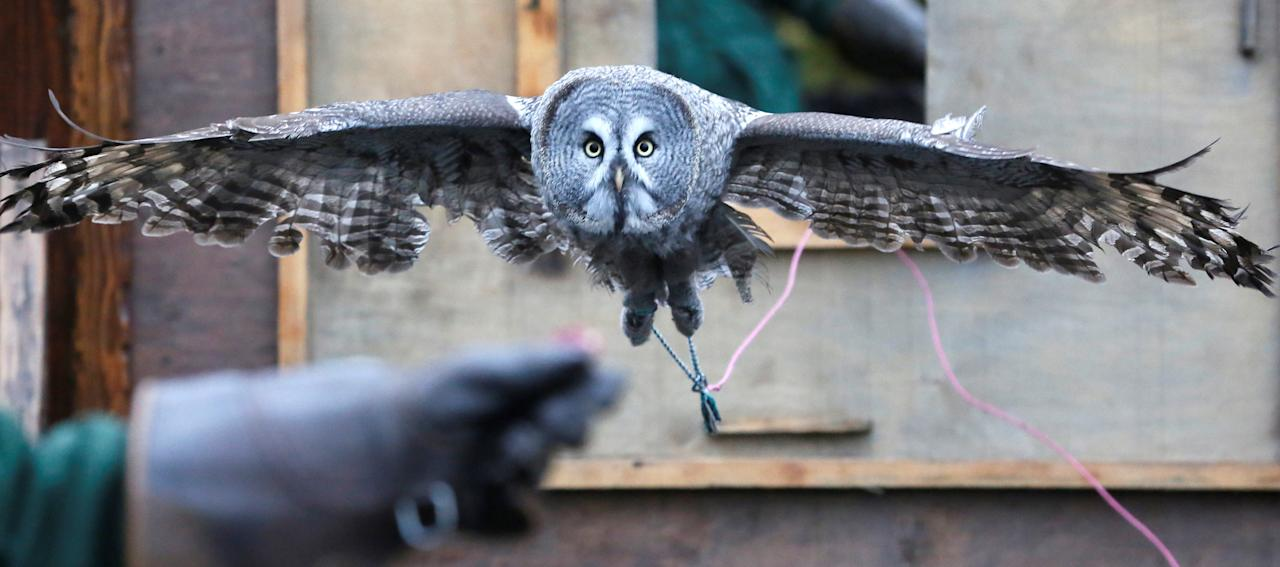 Mykh, a 1.5-year-old great gray owl, flies through a window during a training session which is a part of Royev Ruchey Zoo's programme of taming wild animals for research, education and interaction with visitors, in a suburb of the Siberian city of Krasnoyarsk, Russia October 17, 2017. REUTERS/Ilya Naymushin